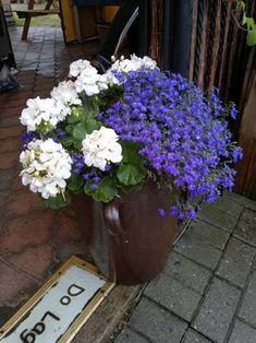 Pelargonie o białych kwiatach i intensywnie niebieskie lobelie to ciekawe połączenie dla tych, którzy nie lubią zbyt wielu kolorów w kompozycji
