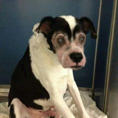 TO BE DESTROYED 10/15/14 Manhattan Center  My name is ROMEO. My Animal ID # is A0371872. (Alternate ID#: A1017111) I am a male black and white cocker span and pit bull mix. The shelter thinks I am about 14 YEARS old. *** RETURNED ON 10/10/14 - OWNER SICK *** POSSIBLY BLIND *** https://m.facebook.com/Urgentdeathrowdogs/photos/a.611290788883804.1073741851.152876678058553/887683777911169/?type=1&source=49