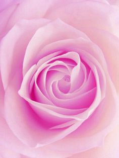 Beautiful Flowers Pictures, Flower Pictures, Beautiful Roses, Rare Flowers, Exotic Flowers, Pretty Flowers, Purple Roses, Pink Flowers, Pink Love