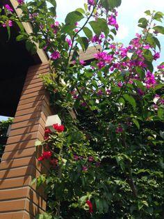 <3 Bouganville no meu jardim na Casa das Corujas