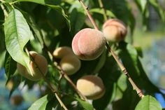 Peaches in my garden in Ahus, Sweden - follow the link and find a Delicious recipe for Peach jam