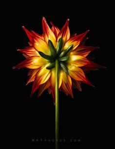 Dahlia in Reverse by Melanie Kern-Favilla - Photo 222531533 / 500px