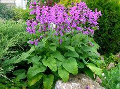stachys grandiflora - Google zoeken