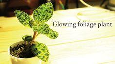 光る観葉植物のケースを作ってみた/ I tried to make a case of glowing foliage plants