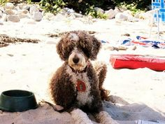 Portuguese water dog.    we miss you so much dunc!