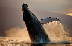 A playful Humpback Whale, Husavik, Iceland.