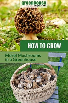 Morel mushrooms are packed with antioxidants and can even fight cancer. This high priced mushroom can be grown in your greenhouse. Learn more about growing Morel mushrooms in this article! Growing Morel Mushrooms, Edible Wild Mushrooms, Garden Mushrooms, Stuffed Mushrooms, How To Grow Mushrooms, Edible Plants, Edible Garden, Growing Vegetables, Growing Plants