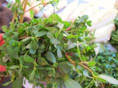 Purslane is a summer green that has food people infatuated and gardeners annoyed.  Discover purslane with this introductory lesson on what it is and how to use it in an agnolotti pasta recipe from Craftbar chef Lauren Hirschberg.
