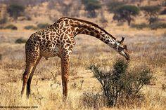 Giraffe: The National Animal of Tanzania