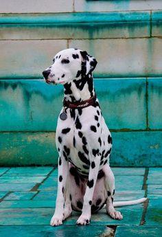Dalmatian - What a beauty.