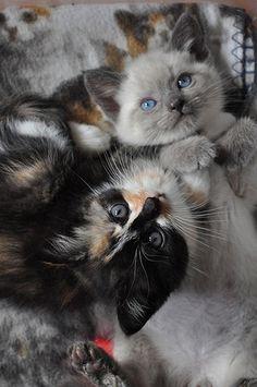 #cat #chat #kitten #kitty #minutechaton