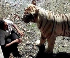 This is the moment when a terrified trespasser stared death right in the face. The crouching man was killed by the tiger at the New Delhi zoo on Tuesday after. Tiger Attack, Animal Attack, New Delhi, Delhi India, Zoo In India, Man Kill, 22 Years Old, Fauna, Humor