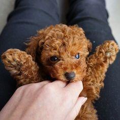 Red Toy Poodle say hi to Jinkee