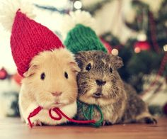 Two cuddly guinea pig