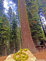 "Peace Offerings ~ Tuolumne Grove of Sequoias in Ahwahnee - Yosemite National Park ~ Walela Dikanogidv ""Songs of the Hummingbird"""