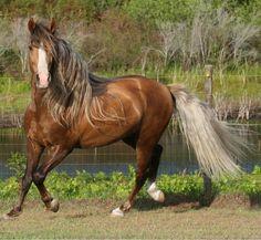 """Horse / Iron Horse Paso Finos - Presenting..""""Cale's Helado Oro""""our Pure Puerto Rican Paso Fino Stallion!"""