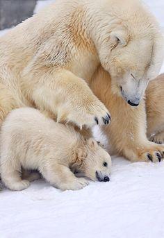 Polar bear and baby | @lifeadvancer | #lifeadvancer