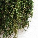 hanging-succulent