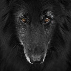 Belgian Sheepdog Groenendael Photograph by Wolf Shadow Photography - Belgian Sheepdog Groenendael Fine Art Prints and Posters for Sale fineartamerica.com