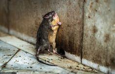 Храм крыс в Индии  (Считается, что увидеть крысу-альбиноса — это к счастью.)