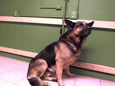 ***URGENT! 2/11/17  This DOG - ID#A5032281  I am described as a male, black and brown German Shepherd Dog  The shelter thinks I am about 8 years old.  I have been at the shelter since Feb 09, 2017.Los Angeles County Animal Control - Carson  216 West Victoria Street  Gardena, CA 90248