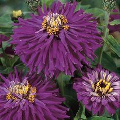 Lilac Emperor Super Cactus zinnia seeds - Garden Seeds - Annual Flower Seeds
