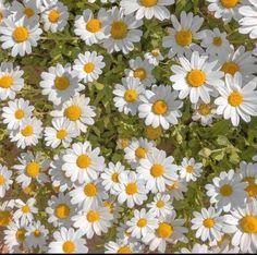 Nature Aesthetic, Flower Aesthetic, Summer Aesthetic, Des Fleurs Pour Algernon, Daisy, No Rain, Aesthetic Pictures, Aesthetic Wallpapers, Mother Nature