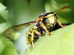 Image result for wasps australia