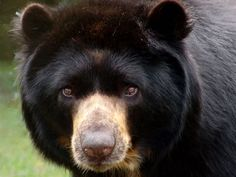 Spectacled Bear by Paul Salaman