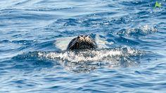 Mediterranean Monk Seal Monachus monachus