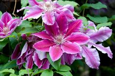 https://flic.kr/p/4SCvtB   Clematis Dr. Ruppel   Prolific flowering, gets better every year without any pruning...