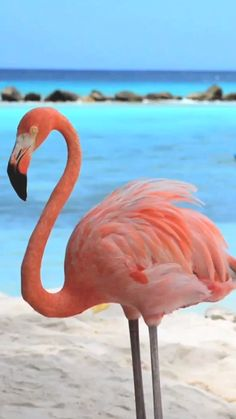 Flamingo Beach e Renaissance Island: Passeio em Aruba- Beautiful Photos Of Nature, Beautiful Places To Travel, Nature Photos, Beautiful Birds, Animals Beautiful, Cute Animals, Foto Flamingo, Flamingo Beach, Flamingo Art