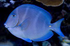 Caribbean blue tang (Acanthurus coeruleus)