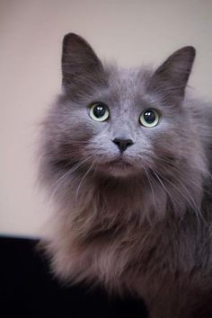 Meet Frank, an adopted Norwegian Forest Cat & Maine Coon Mix Cat, from Feline Friends Chicago in Chicago, IL on Petfinder. Learn more about Frank today. Grey Cats, White Cats, Black Cats, Cats And Kittens, Ragdoll Kittens, Funny Kittens, Bengal Cats, Adorable Kittens, Kitty Cats