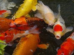 An Introduction To Koi Ponds koi fish care Giobel Koi Center Koi Fish Care, Koi Fish Pond, Koi Carp, Koi Ponds, Vintage Mermaid, Mermaid Art, Mermaid Paintings, Tattoo Mermaid, Koi Fish For Sale