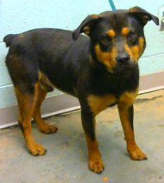 Frodo - URGENT - located at Dekalb County Animal Shelter in Decatur, Georgia - 3 year old Rottweiler Mix