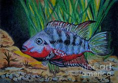 Tropical Fish Drawings - Firemouth Cichlid ACEO by Yvonne Johnstone