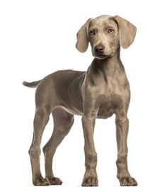 Weimaraner immunodeficiency disease was first reported in 1984 in Melbourne, Australia.  As the name implies, #Weimaraners with immunodeficiency disease have one or more defects in their immune system, making them more susceptible to infections than dogs with normal immune systems.  This disease is inherited, but the exact defects are not currently known.