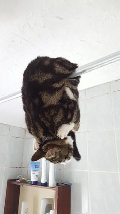 """awwww-cute: """"This is how my friend found the cat in the bathroom (Source: http://ift.tt/2maeYms) """""""