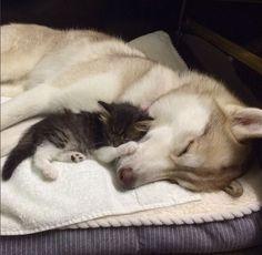 Rosie the kitten sleeping with Lilo the husky