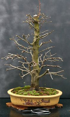 Bonsai Trees - Indoor Plants