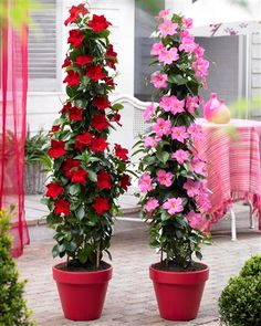 Shop Sundaville Red Plants at J Parker's. Known as Mandevilla 'Bloom Bells' or Dipladenia they will flower through summer. Buy top quality plants online now. Conservatory Plants, Patio Plants, Garden Plants, Outdoor Plants, Container Flowers, Container Plants, Plant Design, Garden Design, Gemüseanbau In Kübeln