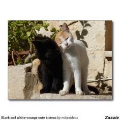 Black and white-orange cute kittens postcard