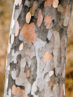 Stewartia Tree Bark-- a tree that looks like a Monet.  Mother nature is quite an artist!