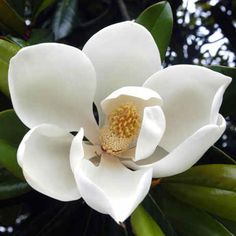 D Blanchard Southern Magnolia is a magnificent broad leaved evergreen tree that will bloom cup shaped flowers just for you! Evergreen Magnolia, Magnolia Leaves, Magnolia Flower, Cream Flowers, White Flowers, Beautiful Flowers, Big Flowers, Exotic Flowers, Beautiful Life