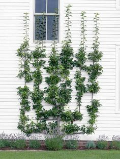 The labor-intensive process of training fruit trees into an espaliered pattern can take five or more years.