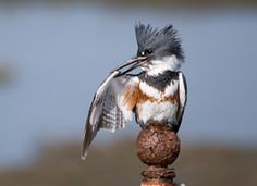 The Belted Kingfisher (Megaceryle alcyon) is a large, conspicuous water kingfisher, the only member of that group commonly found in the northern United States and Canada.