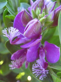Purple Polygala Myrtifolia 'Grandiflora'
