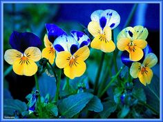 Pansies - Google Search