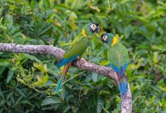 Golden Collared Macaw